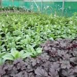 stock plants 144
